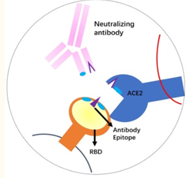 How Neutralizing Antibodies work against Covid-19